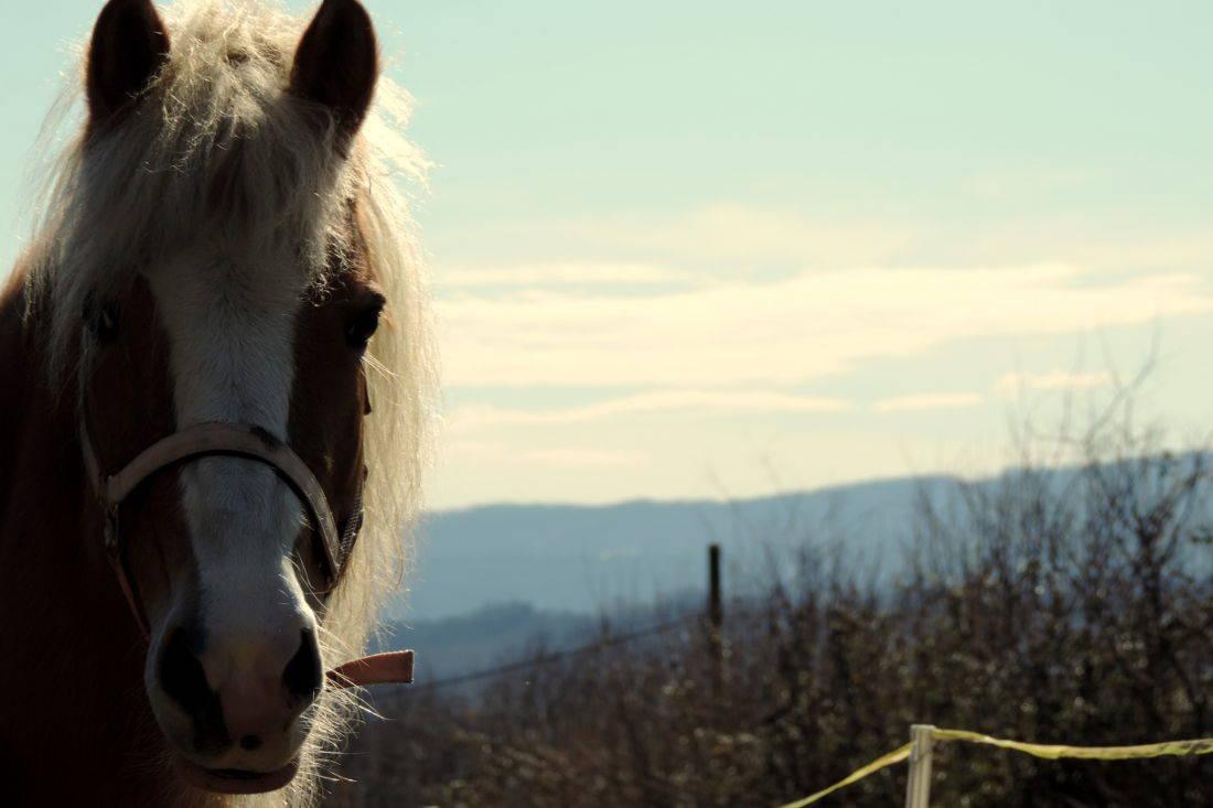 Canavese cavallo